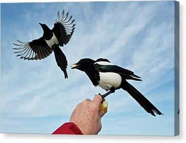 Black-billed Magpie Canvas Print - Nature And Wildlife by Dennis Fast