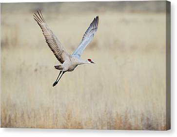 Sandhill Crane (grus Canadensis Canvas Print by Larry Ditto