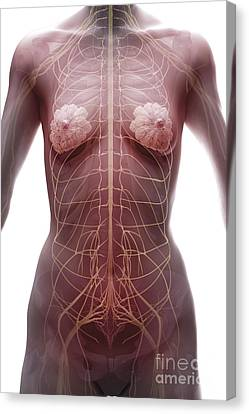 The Nervous System Female Canvas Print by Science Picture Co