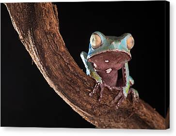 Tree Frog Canvas Print by Dirk Ercken