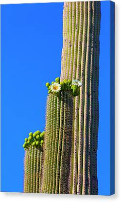 Spiny Canvas Print - Usa, Arizona, Tucson by Jaynes Gallery