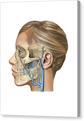 Venous System Of The Head And Neck Canvas Print