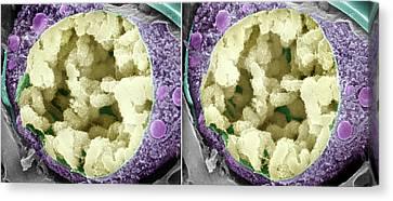 Dividing Pollen Cell Canvas Print by Professor T. Naguro