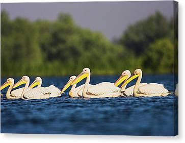 Great White Pelican (pelecanus Canvas Print by Martin Zwick