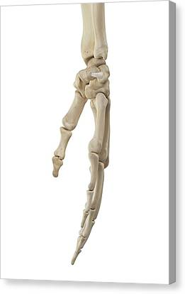 Normal Canvas Print - Human Hand Anatomy by Sciepro