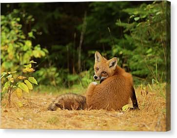 Surprise Canvas Print - Red Fox - Algonquin Park by Jim Cumming