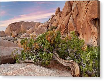 Wind Blown Tree Canvas Print - Usa, California, Joshua Tree National by Jaynes Gallery