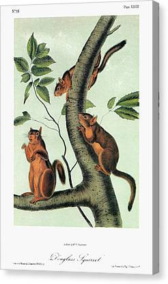 Audubon Squirrel Canvas Print by Granger