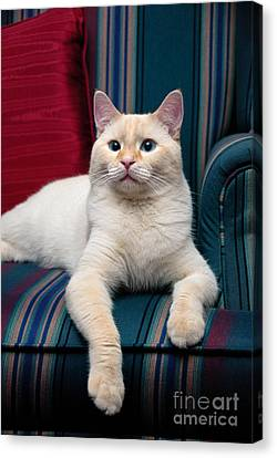 Flame Point Siamese Cat Canvas Print by Amy Cicconi