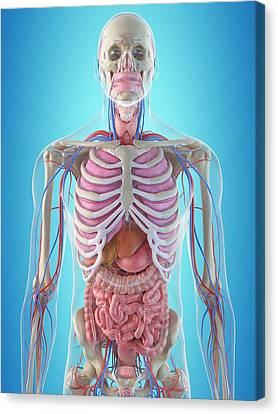 Human Internal Organs Canvas Print by Sciepro