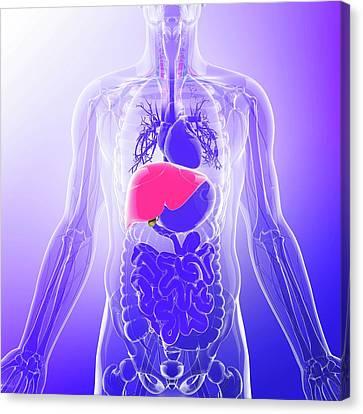 Human Liver Canvas Print