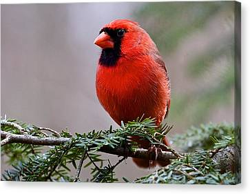 Northern Cardinal Male Canvas Print by Dan Ferrin