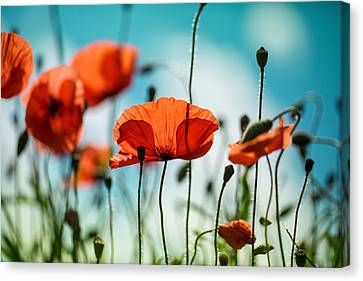 Poppy Meadow Canvas Print by Nailia Schwarz
