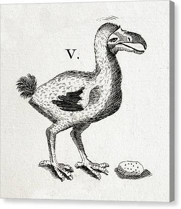 1657 Pre Extinction Image Of Skinny Dodo Canvas Print by Paul D Stewart