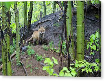 Fox Kit Canvas Print - Canada, Quebec, Mount St-bruno by Jaynes Gallery