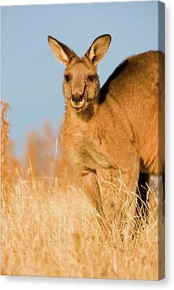 Eastern Grey Kangaroo Or Forester Canvas Print
