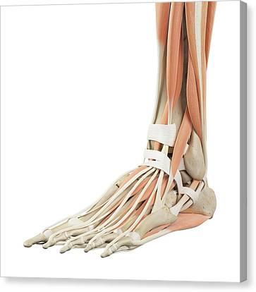 Human Foot Anatomy Canvas Print
