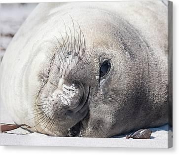 Elephant Seals Canvas Print - Southern Elephant Seal (mirounga Leonina by Martin Zwick