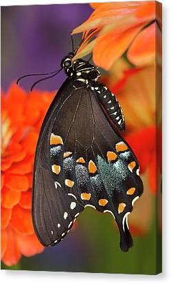 Spicebush Swallowtail Butterfly Canvas Print by Darrell Gulin
