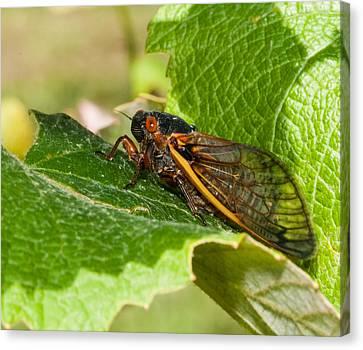 17 Year Cicada 2 Canvas Print by Lara Ellis