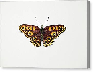 1717 Albin's Hampstead Eye Lost Butterfly Canvas Print by Paul D Stewart