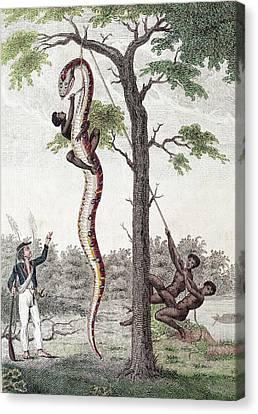 1796 Stedman Skins Giant Anaconda Snake Canvas Print by Paul D Stewart