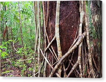 Daintree Rainforest Canvas Print