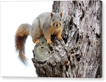 Eastern Fox Squirrel Canvas Print by Jack R Brock
