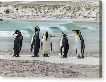 Falkland Islands, East Falkland Canvas Print