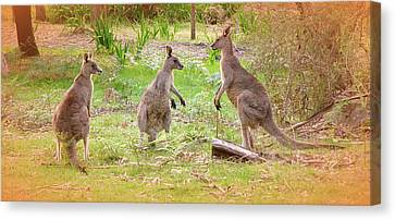 Kangaroo Canvas Print by Girish J