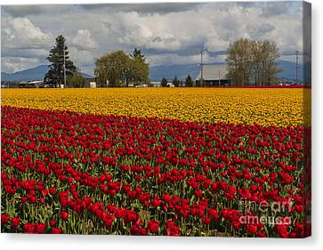 Skagit Valley Tulip Festival - Washington Canvas Print by Yefim Bam