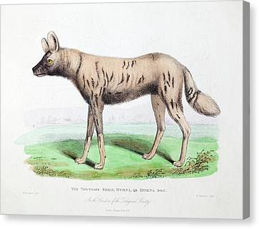 1830 First African Hunting Dog London Zoo Canvas Print by Paul D Stewart