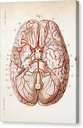1840 Historical Image Brain Blood Supply Canvas Print by Paul D Stewart