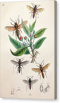 1845 Obadiah Westwood Insect Painting Canvas Print by Paul D Stewart