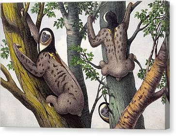 1860 Human Faced Sloths Canvas Print by Paul D Stewart
