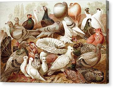 1870 Domestic Fancy Pigeon Breeds Darwin Canvas Print