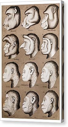 1870 Haeckel Ape Monkey Illustration Canvas Print by Paul D Stewart