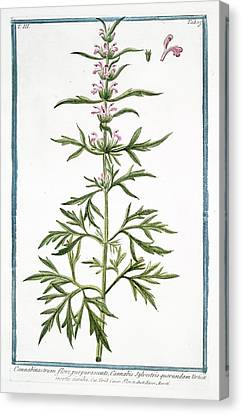 Cesare Canvas Print - 18th Century Botanical Illustration by Rare Book Division/new York Public Library
