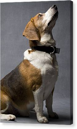 Beagle Canvas Print - Beagle by Gary Marx