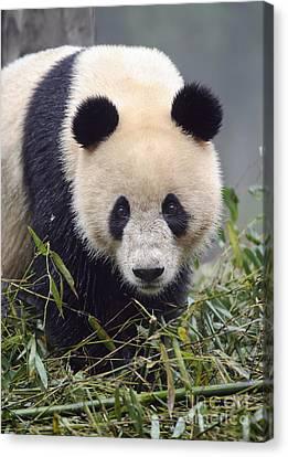 Giant Panda Canvas Print by John Shaw