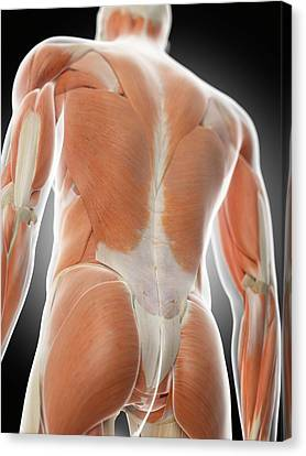 Normal Canvas Print - Human Back Muscles by Sciepro
