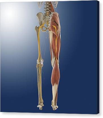 Lower Body Anatomy, Artwork Canvas Print