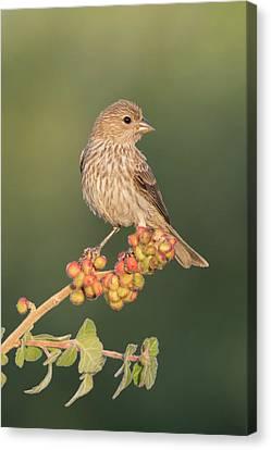 Usa, Arizona, Amado Canvas Print