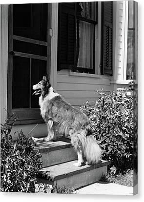 Anticipation Canvas Print - 1930s Rough Scotch Collie Dog Standing by Vintage Images