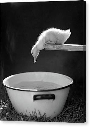 Diving Board Canvas Print - 1940s 1950s Young Duck Leaning by Vintage Images
