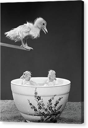 Diving Board Canvas Print - 1950s Duckling On Diving Board Looking by Vintage Images