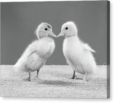 Ducklings Canvas Print - 1950s Pair Of Ducklings Standing by Vintage Images