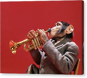 Chimpanzee Canvas Print - 1960s Chimpanzee Wearing Sport Jacket by Vintage Images