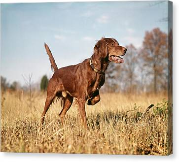 Fall Colors Canvas Print - 1960s Irish Setter Hunting Dog On Point by Vintage Images