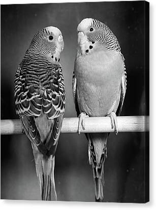 Parakeet Canvas Print - 1960s Pair Of Parakeets Perched by Vintage Images